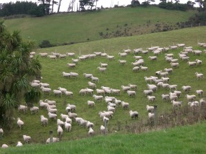 longer breaks for pregnant ewes in winter