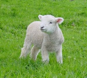 young lamb in ryegrass pasture